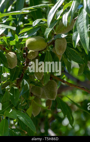 Young green almond nuts riping on almond tree close up - Stock Photo