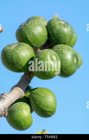 Unripe green figs fruits riping on fig tree close up with blue sky background - Stock Photo