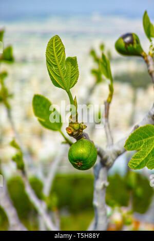 Unripe green figs fruits riping on fig tree close up - Stock Photo