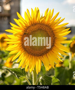 Urban bright yellow sunflowers against construction site in city - Stock Photo