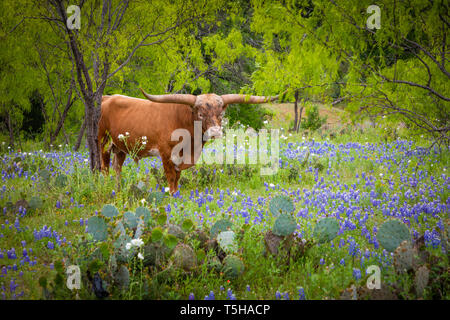 Longhorn cattle among bluebonnets in the Texas Hill Country. The Texas Hill Country is a twenty-five county region of Central Texas and South Texas fe - Stock Photo