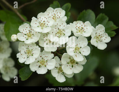 A branch of beautiful Hawthorn Tree, blossom, Crataegus monogyna, growing in the countryside in the UK. - Stock Photo