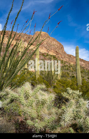 Cholla cactus, ocotillo plants and saguaro cactus grow together along Ajo Mountain Drive in Arizona in Organ Pipe National Monument - Stock Photo