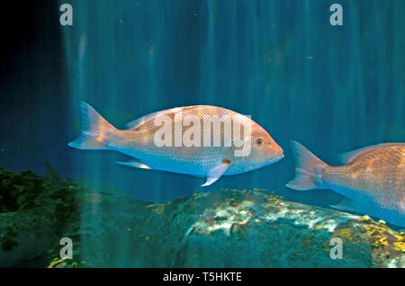 A Northern red snapper swims in the Islands of Steel underwater exhibit at the Texas State Aquarium in Corpus Christi, Texas USA. - Stock Photo