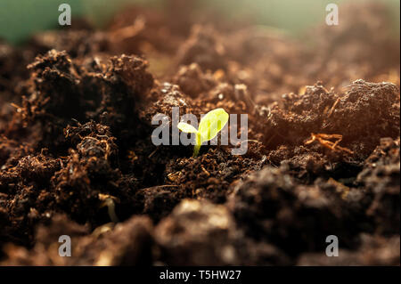 Little Green Sprout Growing From the Ground in the Spring Morning Sunlight. New Life, Organic Agriculture, Business Growth Concept. - Stock Photo