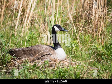 Nesting Canadian Goose sitting on her eggs in the reeds. Natural grassy lake shore background. - Stock Photo