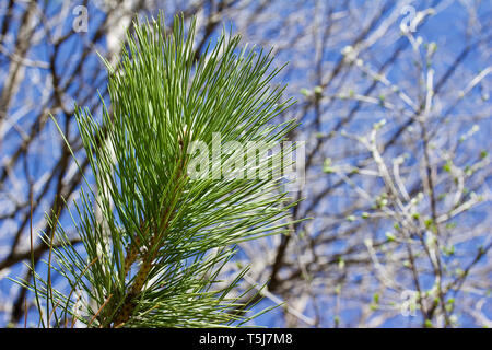 Upward abstract view of the texture of branches on an Austrian pine tree with long green needles against a blue sky background - Stock Photo