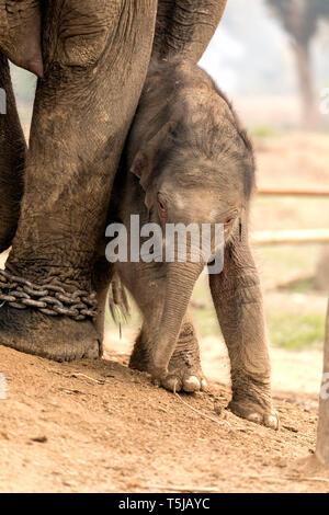 Baby Elephant Playing mother Chitwan elephant breeding center Nepal - Stock Photo