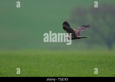 Female Marsh harrier-Circus aeruginosus in flight. Uk - Stock Photo