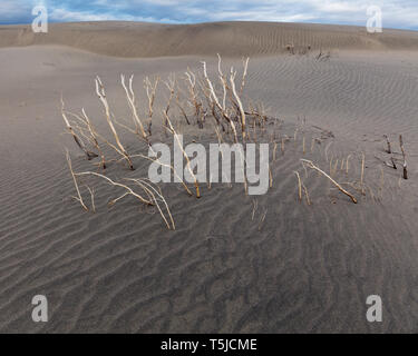 Skeleton of a creosote push in Mesquite Dunes. - Stock Photo