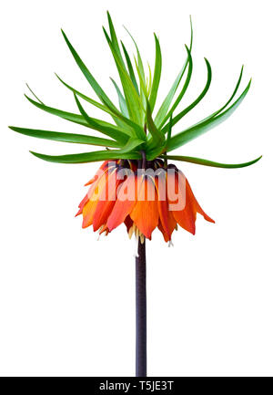 Orange bell flower Crown Imperial (Fritillaria imperialis) isolated on white background. - Stock Photo