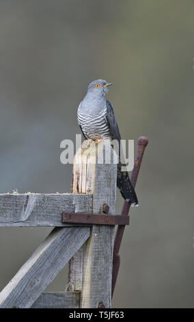 Male cuckoo (Cuculus canorus) perched on an old gate - Stock Photo