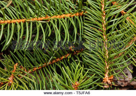 Following a recent spring storm, the ends of the spruce branches covered the forest floor, in an interlacing pattern, within the Pike Lake Unit, Kettl - Stock Photo
