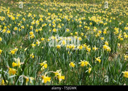 Germany, North Rhine-Westphalia, High Fens Eifel Nature Park, daffodils in spring - Stock Photo