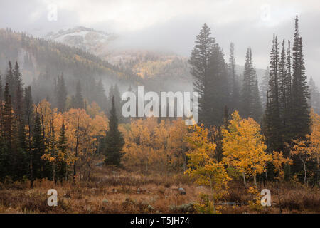 Aspens in the fog, Big Cottonwood Canyon, Utah - Stock Photo