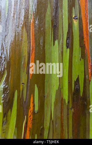 Detail of rainbow eucalyptus, Eucalyptus deglupta, close-up - Stock Photo