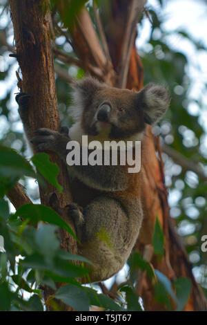 Koala climbing on a tree at Cape Otway in the Great Ocean Road in Victoria, Australia - Stock Photo