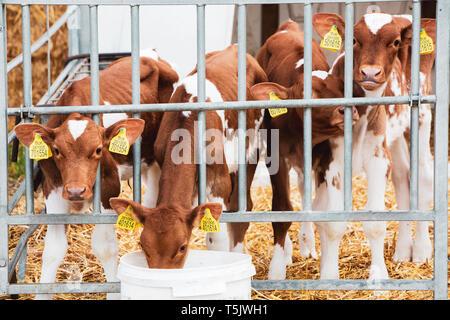 Group of Guernsey calves in a metal pen on a farm. - Stock Photo