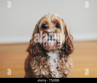 A cockapoo mixed breed dog, a cocker spaniel poodle cross, a family pet with brown curly coat - Stock Photo