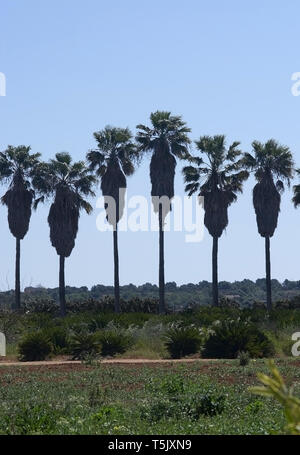 Palm trees in a row with high trunks abstract isolated - Stock Photo