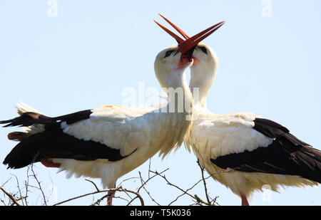 Close up of two white storks (ciconia ciconia) in a nest on a tree clapping beaks together. Brabant near Nijmegen, Netherlands - Stock Photo