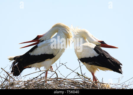 Close up of two white storks (Ciconia Ciconia) in a nest on a tree against blue sky. The storks bending back heads on the back during beak clapping. B - Stock Photo