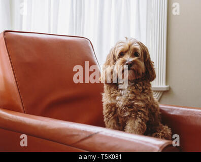 A cockapoo mixed breed dog, a cocker spaniel poodle cross, a family pet with brown curly coat sitting on a chair - Stock Photo