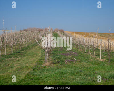 Flowering trees in a fruit plantation - Stock Photo