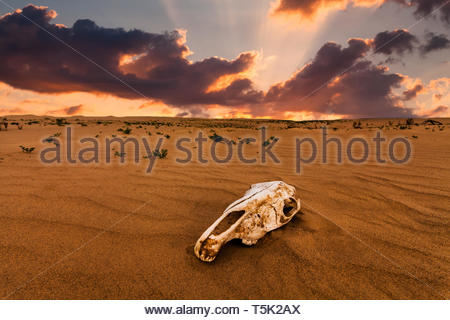 Skull of an animal in the sand desert at sunset. The concept of death and end of life - Stock Photo