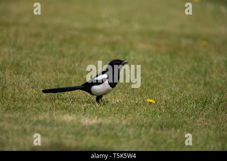 Eurasian Magpie Pica pica in profile on a lawn - Stock Photo