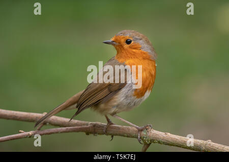 A close portrait of a robin perched on a branch looking behind over its shoulder against a natural green background - Stock Photo