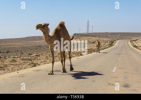 Camels on road, Salalah, Dhorfar, Oman - Stock Photo