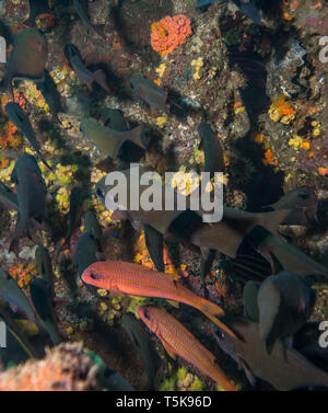 School of Fish, Hallaniyat Islands, Oman - Stock Photo