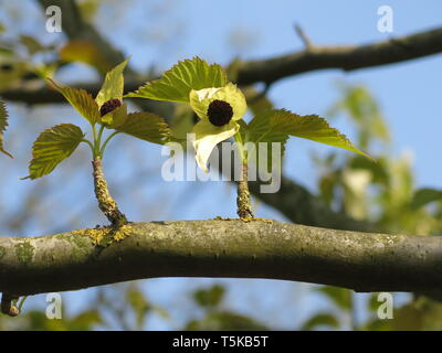 Close-up of a single flower head on a branch of davidia involucrata, with white bracts fluttering at the base; known as the dove or handkerchief tree - Stock Photo