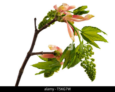 Emerging flowers and foliage of Acer pseudoplatanus, the sycamore tree, on a white background Stock Photo