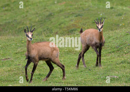 Two chamois (Rupicapra rupicapra) in summer on mountain meadow / Alpine pasture in the European Alps - Stock Photo