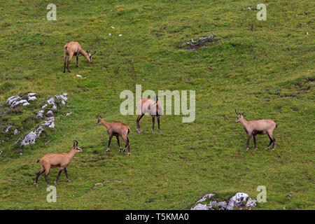 Chamois (Rupicapra rupicapra) herd foraging on mountain meadow / Alpine pasture in summer in the European Alps - Stock Photo