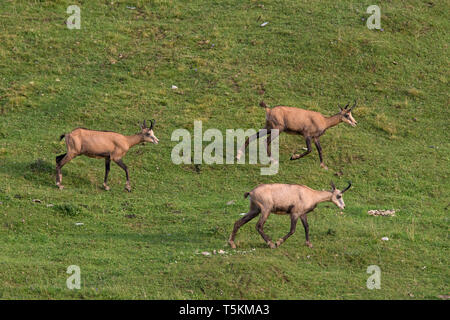 Three chamois (Rupicapra rupicapra) foraging on mountain meadow / Alpine pasture in summer in the European Alps - Stock Photo