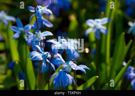 Scilla siberica, Siberian squill, wood squill. Spring blue flowers closeup. Fresh flowers grow in the forest. - Stock Photo