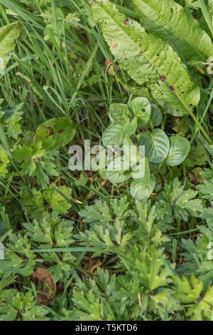 Early spring shoots of Water Mint / Mentha aquatica growing in wet meadow. Leaves become more coarse and downy during summer. Hygrophilous plants. - Stock Photo