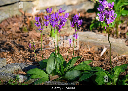 Shooting star or Dodecatheon in early morning sun. It is a genus of herbaceous flowering plants in the family Primulaceae. - Stock Photo