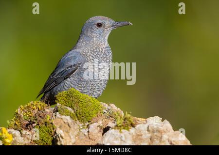 Blue Rock Thrush (Monticola solitarius), immature male perched on a rock