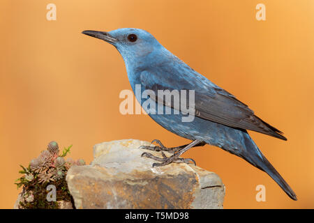 Blue Rock Thrush (Monticola solitarius), side view of an adult male perched on a rock