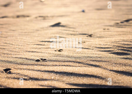 Line of bird footprints in sand at the beach in evening - Stock Photo