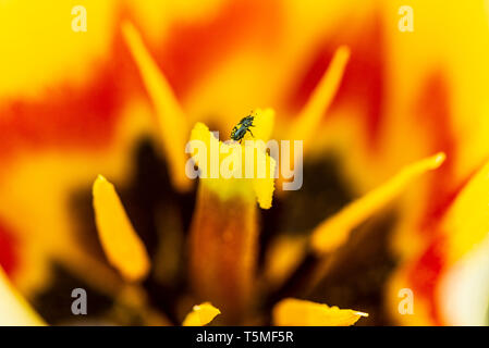 An insect on the stigma of a tulip - Stock Photo