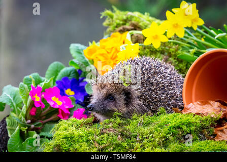 Hedgehog, (Erinaceus Europaeus) wild, native, European hedgehog in Springtime with colourful spring flowers, grass and plant pot. Landscape. copyspace - Stock Photo