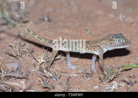 Middle Eastern Short-Fingered Gecko (Stenodactylus doriae) standing in the United Arab Emirates desert in the sand at night. - Stock Photo