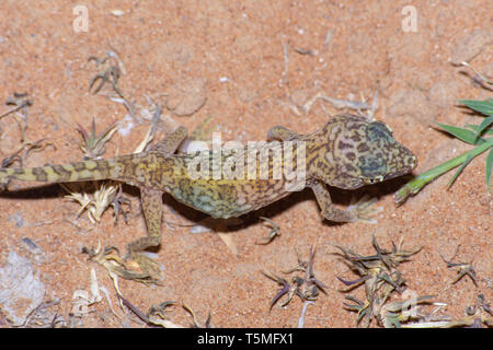 Top view of a Middle Eastern Short-Fingered Gecko (Stenodactylus doriae) standing in the United Arab Emirates desert in the sand at night. - Stock Photo
