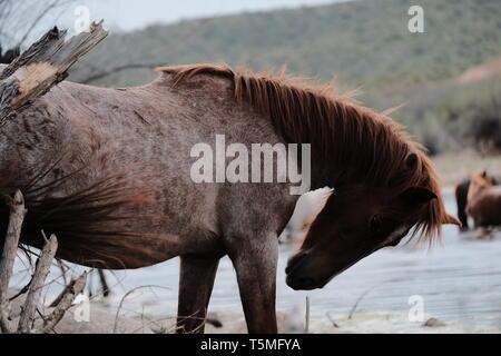 Wild horses at the salt river in Arizona - Stock Photo