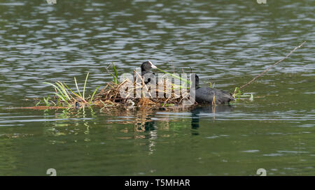Coots (UK) nest building in the middle of a lake. - Stock Photo